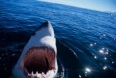 S01CA Great White Shark